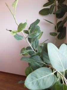 応接室のゴムの木です。 成長が楽しみです。